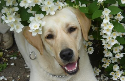 Ася - собака-проводник